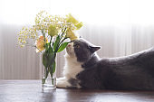 British shorthair cat smells the smell of flowers on the table