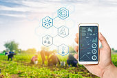 Smartphone in the hands of a farmer. Smart agriculture. Automation and crop quality improvement. High technology, innovation. Scientific research. Workers work on the field, harvesting potatoes.