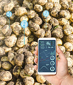 Farmer hold a smartphone on a background of a fresh potatoes. Agricultural startup. Automation and crop quality improvement. High technology, innovation. Scientific research.