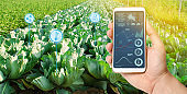 Farmer holds a smartphone on a background of a field with a cabbage plantations. Agricultural startup. Automation and crop quality improvement. High technology, innovation. Scientific research.