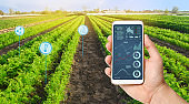Farmer's holds a smartphone on a background of a field with a carrot plantations. Agricultural startup. Automation and crop quality improvement. High technology, innovation. Scientific research.