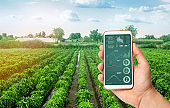 A hand is holding a smartphone with infographics on the background of plantations of sweet Bulgarian bell pepper. Farming. Cultivation, care and harvesting. agricultural products for sale.