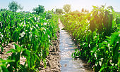Irrigation of peppers in the field. Traditional natural watering. Eco-friendly products. Agriculture and farmland. Crops. Ukraine, Kherson region. Growing organic vegetables. Soft selective focus