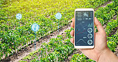 Farmer hold a smartphone on a background of a field with a pepper plantations. Agricultural startup. Automation and crop quality improvement. High technology, innovation. Scientific research.