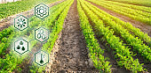 Carrots in the field. Scientific work and development of new methods and selection of varieties. High technologies and innovations in agro-industry. Investing in farming Study quality of soil and crop
