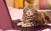 Beautiful gray tabby cat is lying with a laptop. Funny pet. Pink background. Selective focus.