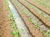 Irrigation of young cabbage in the field. Natural watering. Growing organic vegetables. Eco-friendly products. Agriculture and farming. Seedlings, cultivation. Ukraine, Kherson region. Selective focus