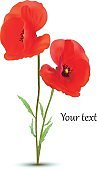 3D realistic red poppies flowers isolated of white background. Beautiful banner. Red poppies with copy space for you text. Nature. Summer flower. Vector illustration.