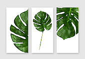 Monstera leaf isolated on white background, summertime banners set, front, top view. Tropical palm leaf close up.