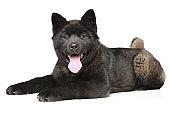 Happy American Akita puppy lying