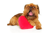 Brussels griffon with festive red heart