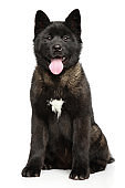 Young American Akita puppy sitting on white background