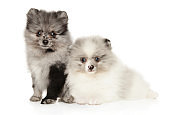 Two marble color Pomeranian puppies