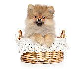 Pomeranian Spitz puppy in wicker basket