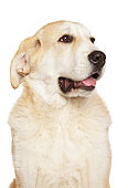 Alabai dog puppy on white background