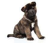 American Akita puppy sits on white background