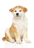 Japanese Akita sits in front of white background
