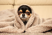 Chihuahua puppy lying under a blanket