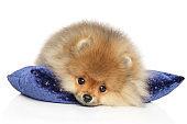 Pomeranian Spitz puppy on a blue pillow