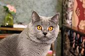 Mom cat close-up. Gray cat