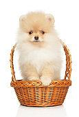 Cute Pomeranian Spitz puppy on white background