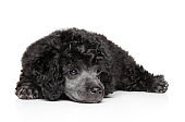 Toy poodle on white background