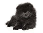 Black Dwarf Spitz puppy on white