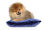 Cute Pomeranian Spitz puppy on a blue pillow