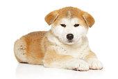 Japanese Akita inu puppy lying on white background