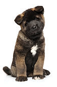American Akita puppy on white background