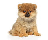 ZwergSpitz puppy sits in front of white background