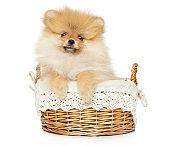 Pomeranian Spitz puppy sits in wicker basket