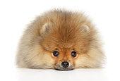 Pomeranian Spitz puppy lying down