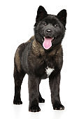 Portrait of a young American Akita dog