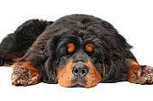 Tibetan Mastiff dog is sleeping