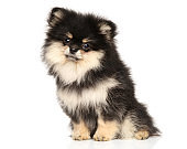 Black and tan Spitz puppy on white background