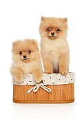 Pomeranian Spitz puppies in basket