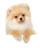 Pomeranian Spitz puppy above banner
