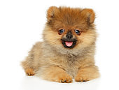 Cute dwarf spitz puppy looking at the camera