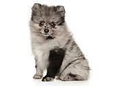 Adorable Pomeranian Spitz puppy sitting