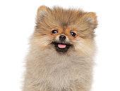 Close-up of a Zwerg Spitz puppy