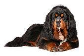 Tibetan Mastiff dog graceful lying
