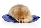 Spitz puppy resting on a blue pillow