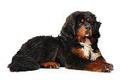 Young Tibetan Mastiff dog