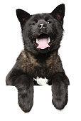 Happy American Akita dog above banner