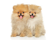 Two funny and happy Pomeranian puppies sitting
