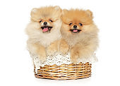 Two funny and happy Pomeranian puppies lie in a wicker basket