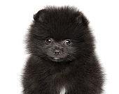 Close-up of a Black Zwerg Spitz puppy