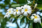 White and yellow plumeria flowers bunch blossom close up, green leaves blurred bokeh background, blooming frangipani tree branch, exotic tropical flower in bloom, beautiful natural floral arrangement
