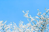 Cherry tree blossom and blue sky, white flowers as nature background